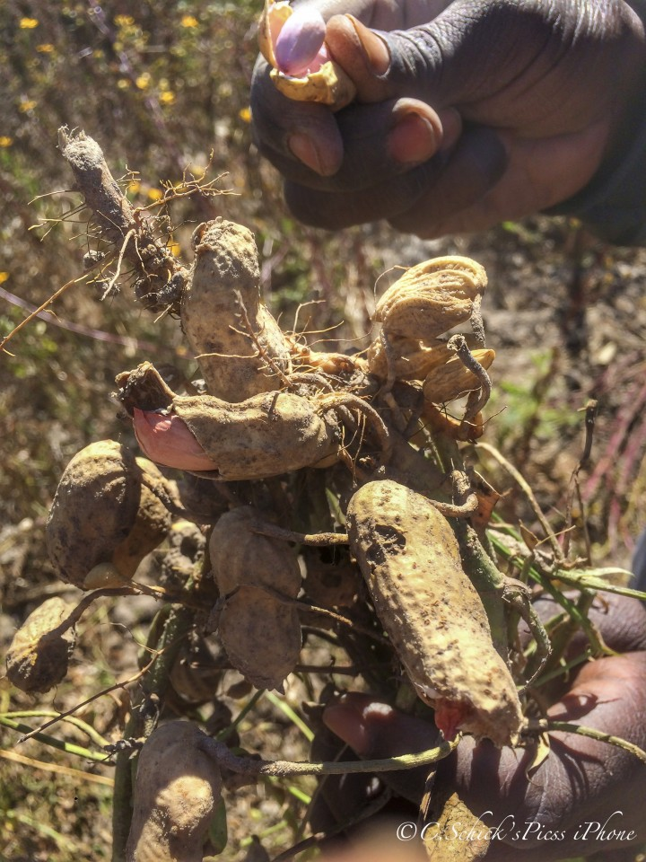 Digging for ground nuts, or as they're called in the western world, peanuts, about 30 minutes outside Chibombo in Zambia, on June 9, 2016. -- (Crystal Schick/Independent Photojournalist)
